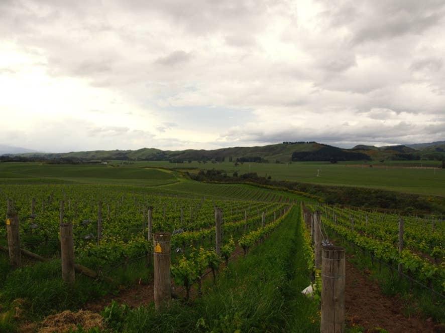 ニュージーランド チャートンのぶどう畑