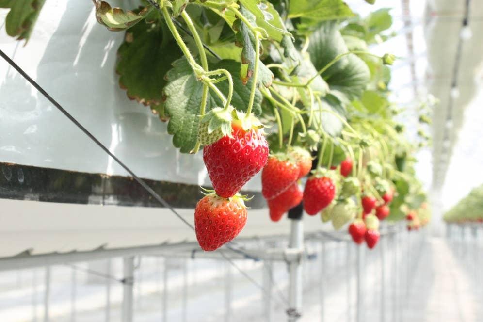 岩佐さんの農園では温度、湿度、日照量、二酸化炭素濃度、栄養分などをセンサーで計測し、イチゴづくりのノウハウをデータ化している