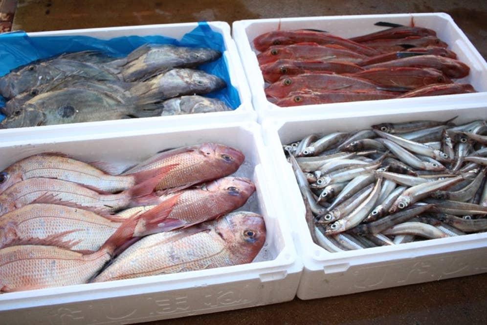 一日漁で獲れた魚。本当に、身の輝きが違います