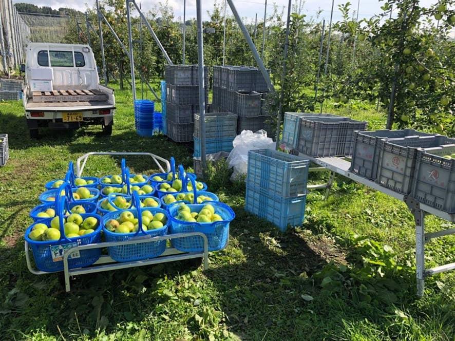 はつ恋ぐりんの収穫時期は、10月下旬~11月。、主に都内に出荷。生産量はまだ少ないが、今後増産を予定。