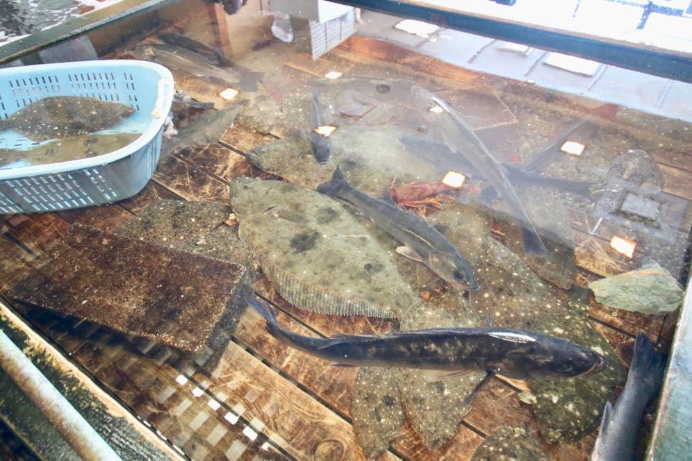 生簀にはヒラメやオオクチイシナギなどの魚がいっぱい